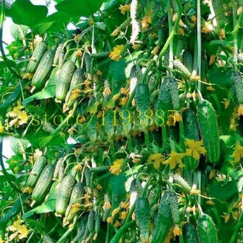 Семена огурцов купить на Aliexpress.com
