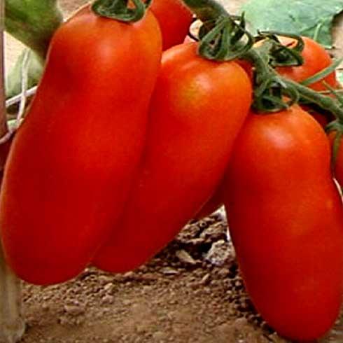 алиэкспресс семена томатов